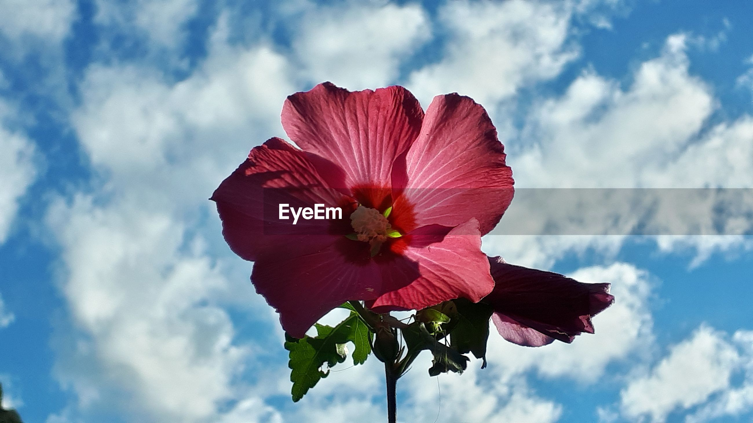 Close-up of red hibiscus against sky