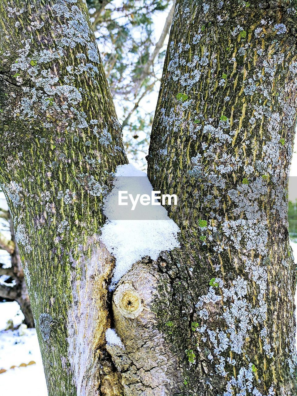 tree trunk, tree, day, nature, snow, winter, outdoors, forest, cold temperature, no people, textured, lichen, close-up, bark, growth, beauty in nature