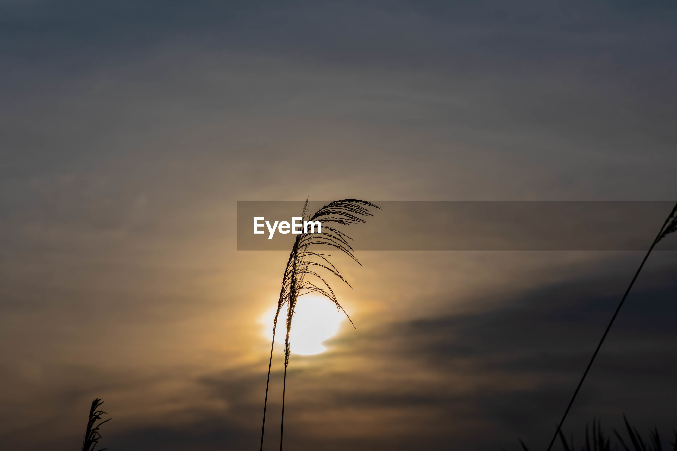 LOW ANGLE VIEW OF STALKS AGAINST ORANGE SKY