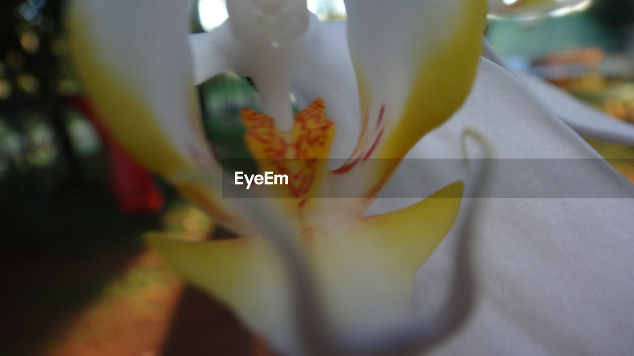 flower, petal, beauty in nature, freshness, growth, fragility, nature, selective focus, flower head, springtime, blossom, stamen, botany, white color, plant, close-up, no people, lily, outdoors, blooming, day, day lily