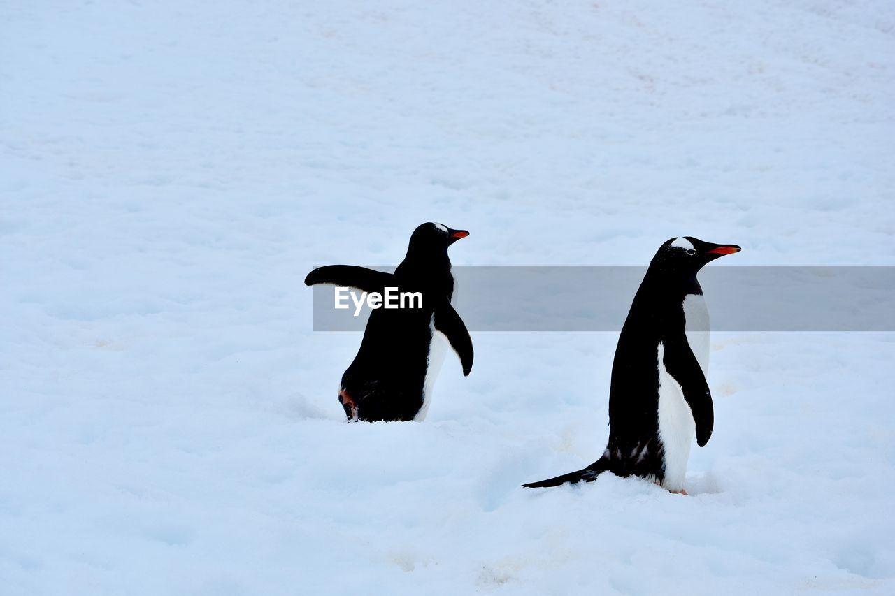 bird, animals in the wild, animal themes, animal wildlife, nature, black color, penguin, no people, day, outdoors, cold temperature, winter, snow, full length, beauty in nature, sky