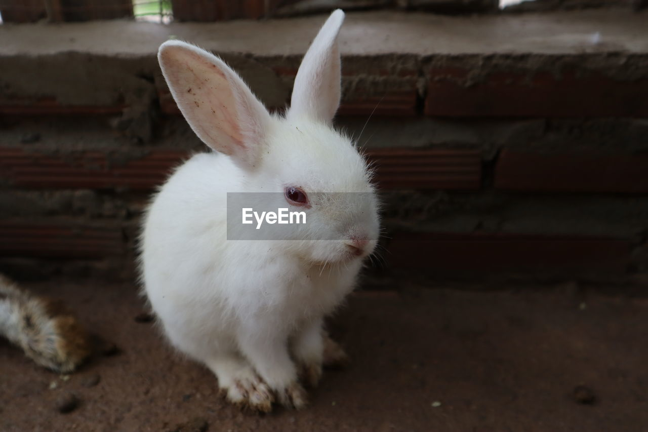 mammal, animal themes, animal, domestic, pets, domestic animals, rabbit - animal, one animal, white color, rabbit, no people, animal wildlife, vertebrate, close-up, day, focus on foreground, animal body part, rodent, portrait, looking at camera, animal head, animal ear, herbivorous, whisker
