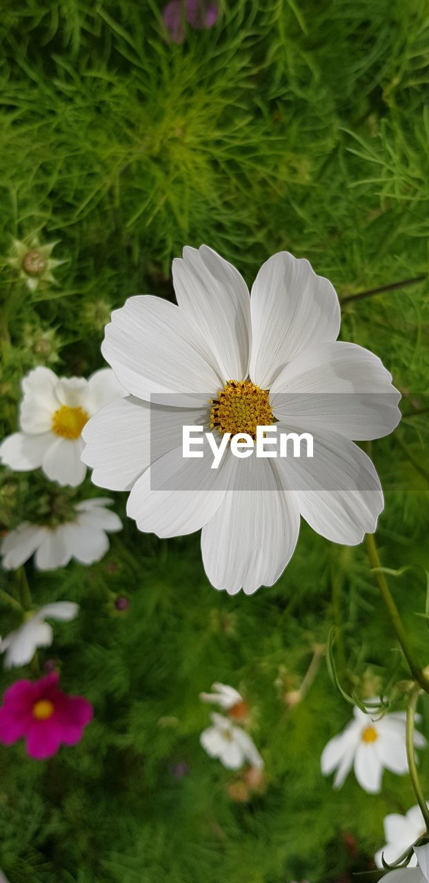 flowering plant, flower, freshness, fragility, plant, vulnerability, petal, beauty in nature, growth, white color, flower head, inflorescence, close-up, no people, pollen, nature, cosmos flower, day, focus on foreground, green color, outdoors