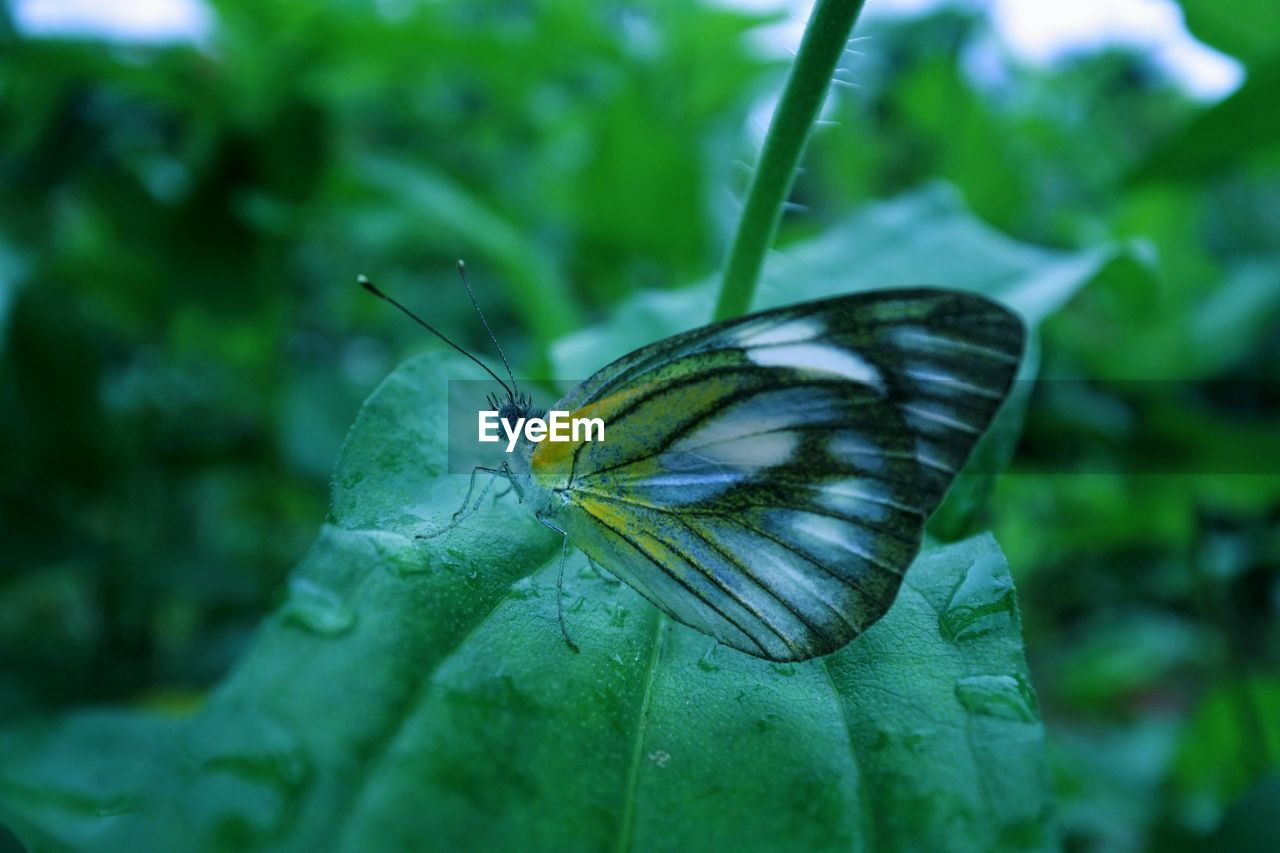 one animal, animal themes, insect, animals in the wild, butterfly - insect, wildlife, close-up, butterfly, no people, leaf, green color, animal wildlife, outdoors, nature, day, focus on foreground, animal markings, plant, beauty in nature, fragility, freshness
