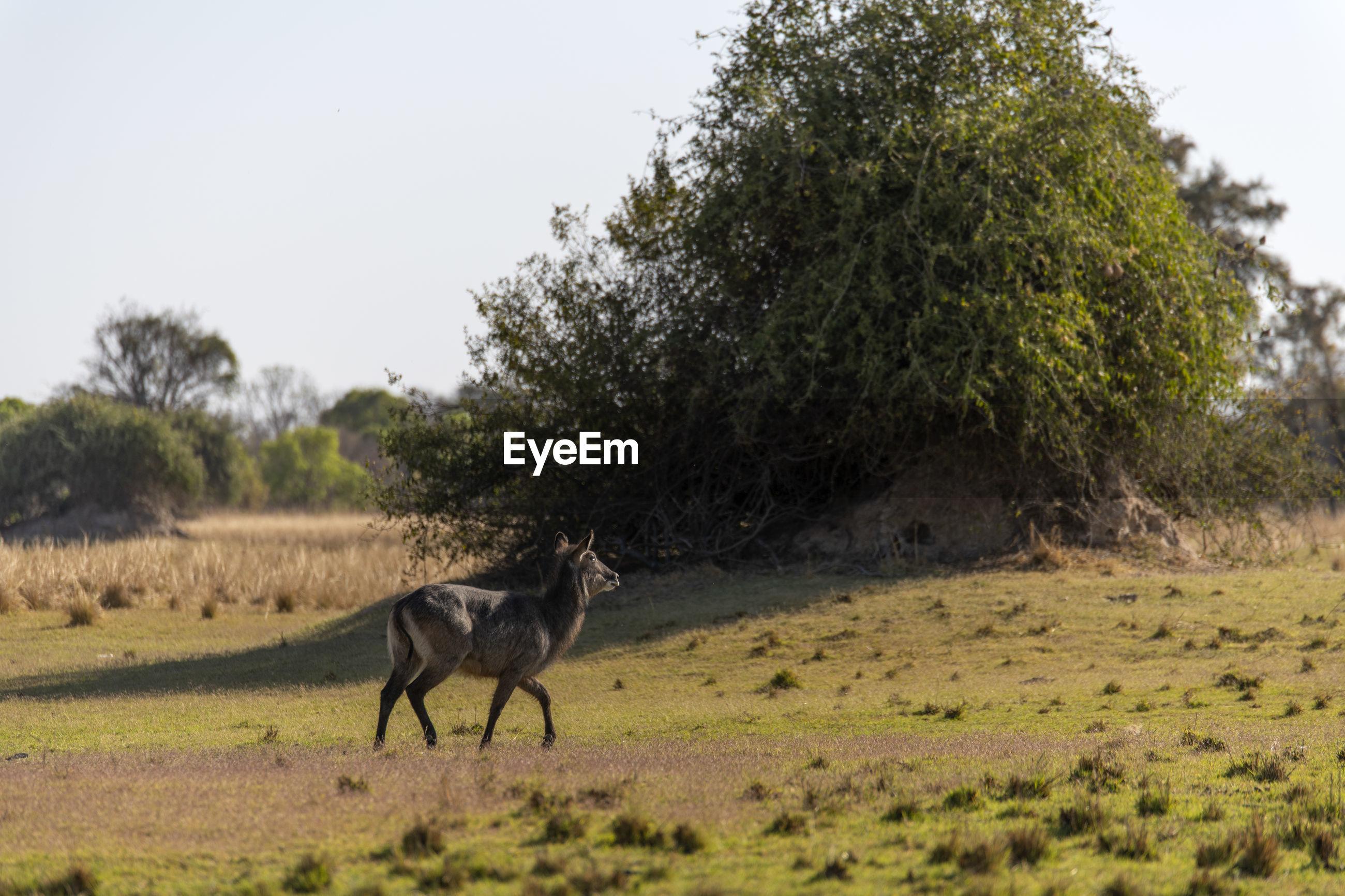 Waterbuck standing in a field