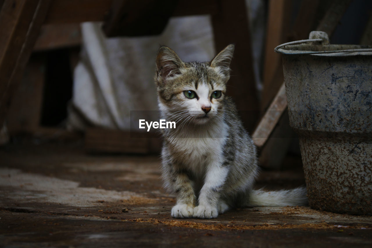 pets, mammal, domestic, domestic cat, domestic animals, feline, cat, one animal, vertebrate, looking at camera, portrait, no people, whisker, sitting, focus on foreground, day, flooring