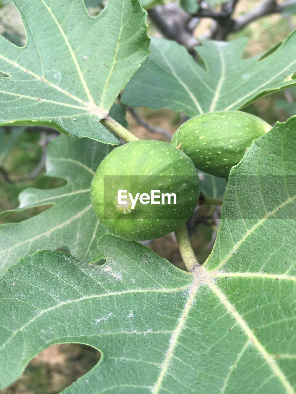 plant part, green color, leaf, growth, food and drink, plant, fruit, food, close-up, freshness, healthy eating, no people, nature, day, beauty in nature, leaf vein, wellbeing, outdoors, fig, focus on foreground
