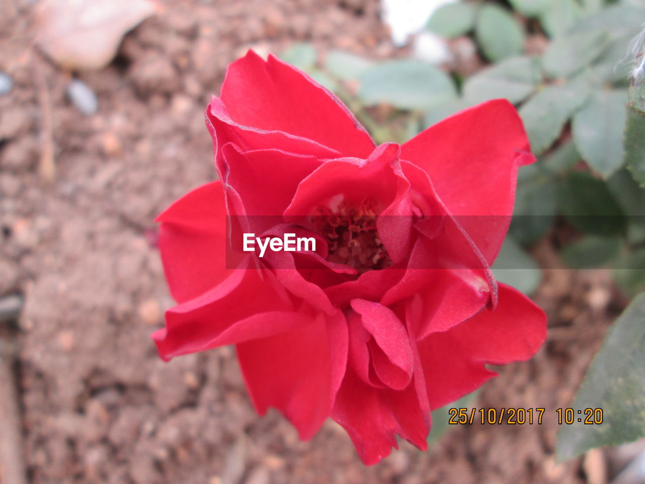 petal, flower, flower head, red, day, nature, no people, fragility, close-up, outdoors, focus on foreground, growth, beauty in nature, animal themes, freshness