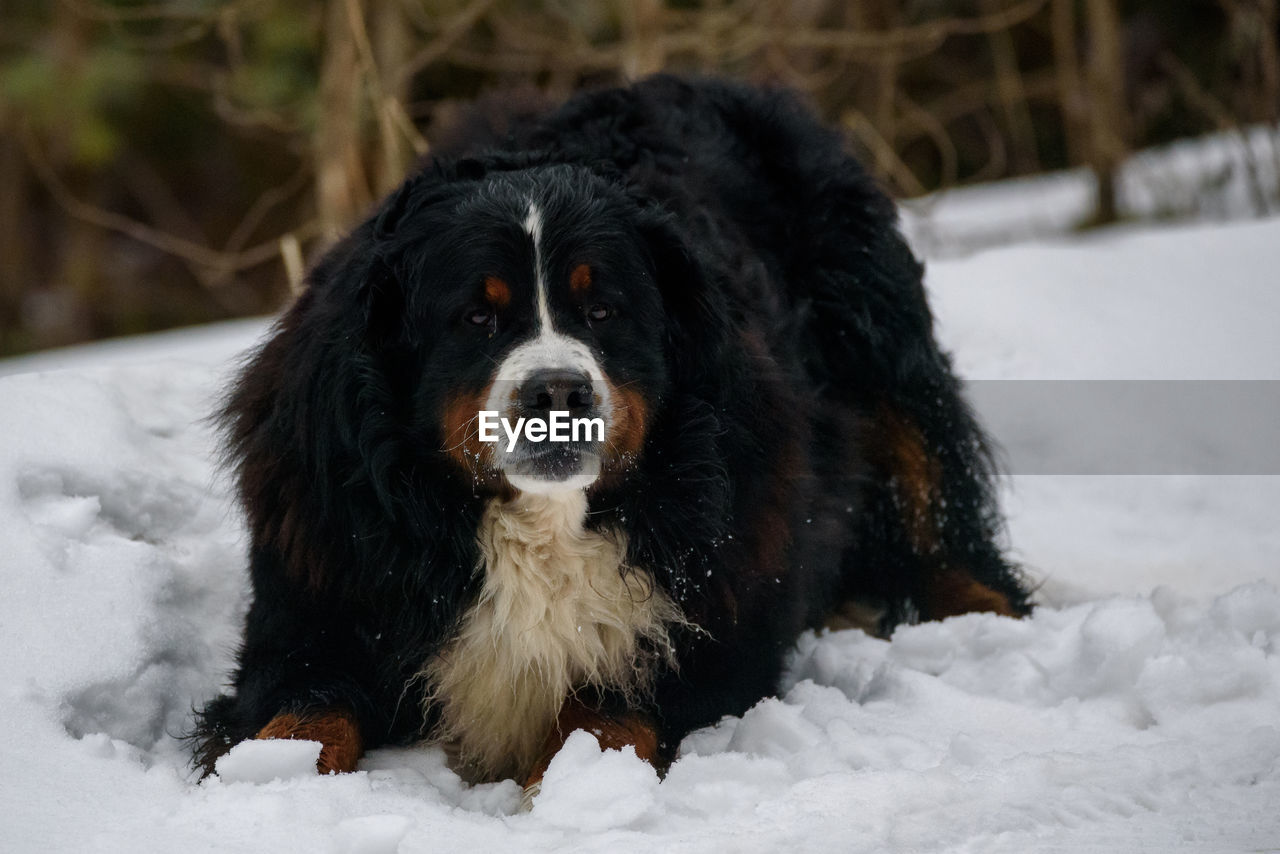 Bernese Mountain Dog Eating Snow While Lying Down On Eyeem