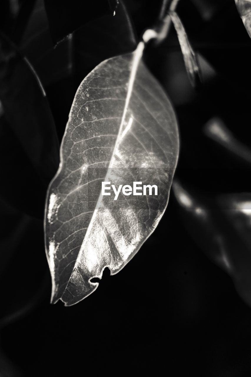 leaf, close-up, no people, fragility, day, nature, outdoors, animal themes, beauty in nature, black background