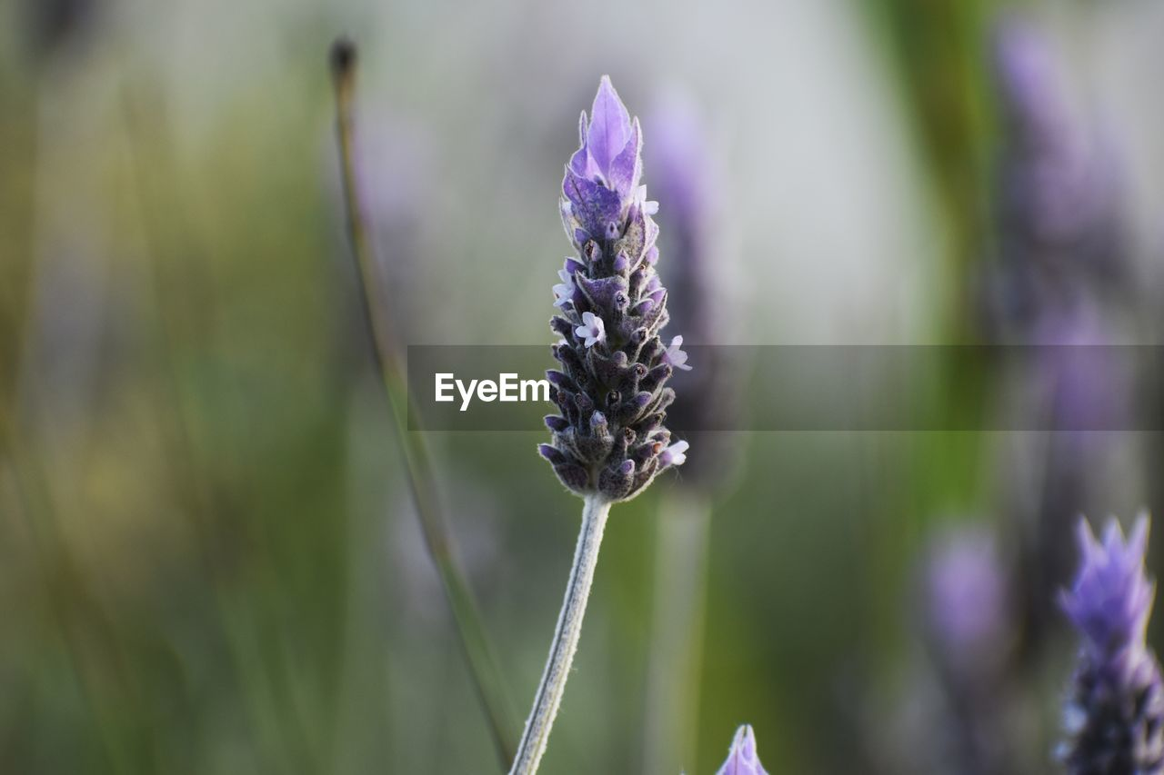 flower, plant, flowering plant, beauty in nature, purple, vulnerability, growth, fragility, close-up, focus on foreground, nature, no people, lavender, freshness, day, plant stem, flower head, selective focus, inflorescence, botany, outdoors, pollination
