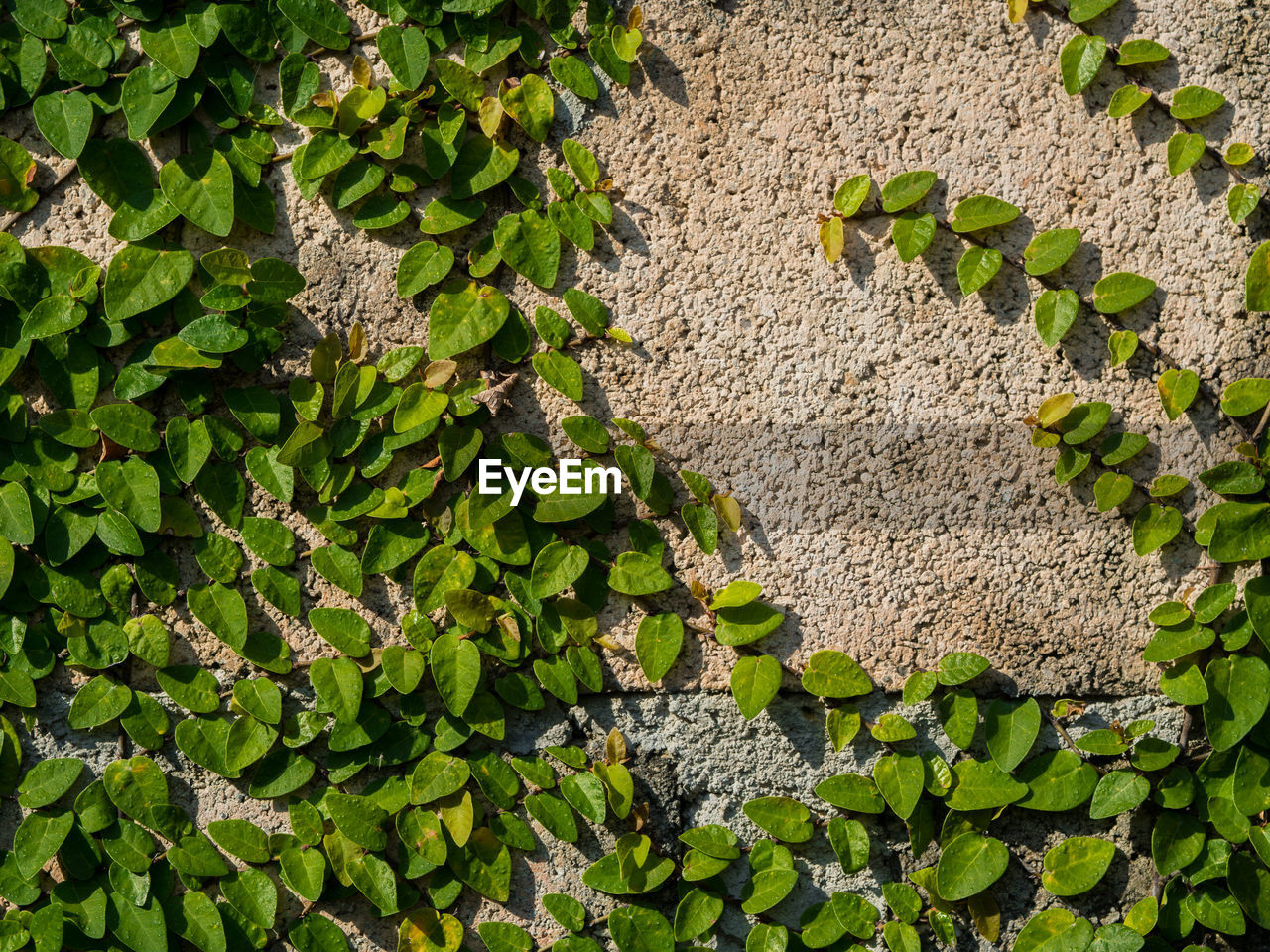 green color, wall - building feature, textured, leaf, full frame, day, backgrounds, plant, outdoors, pattern, rough, built structure, close-up, architecture, ivy, no people, nature