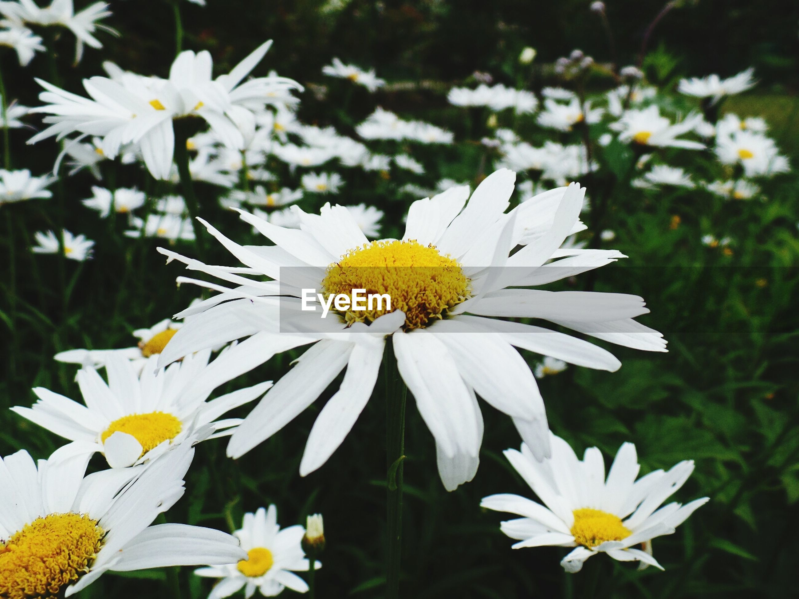 Daisies blooming on field in park