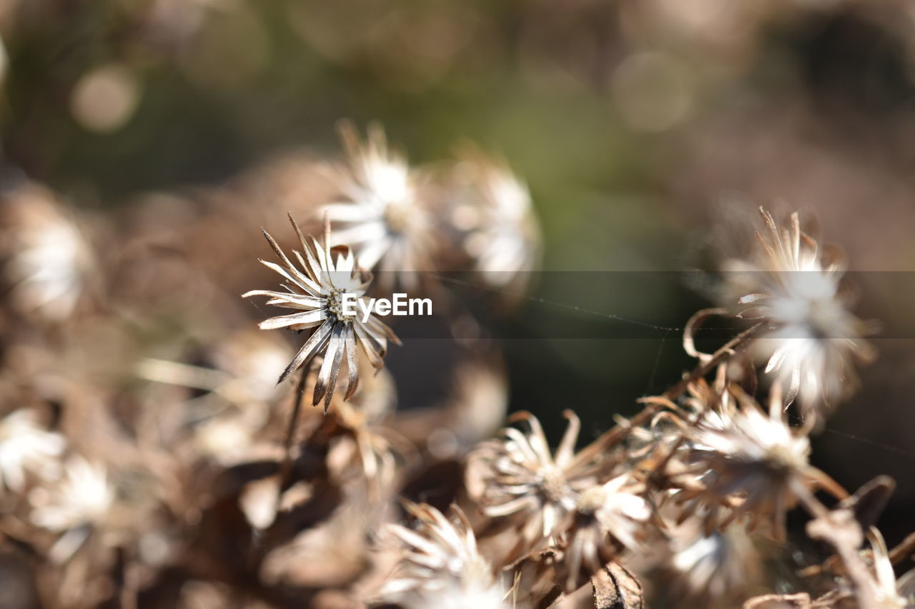 selective focus, plant, flower, flowering plant, close-up, beauty in nature, fragility, growth, vulnerability, day, nature, freshness, no people, sunlight, dandelion, dry, outdoors, tranquility, field, flower head, wilted plant, dandelion seed