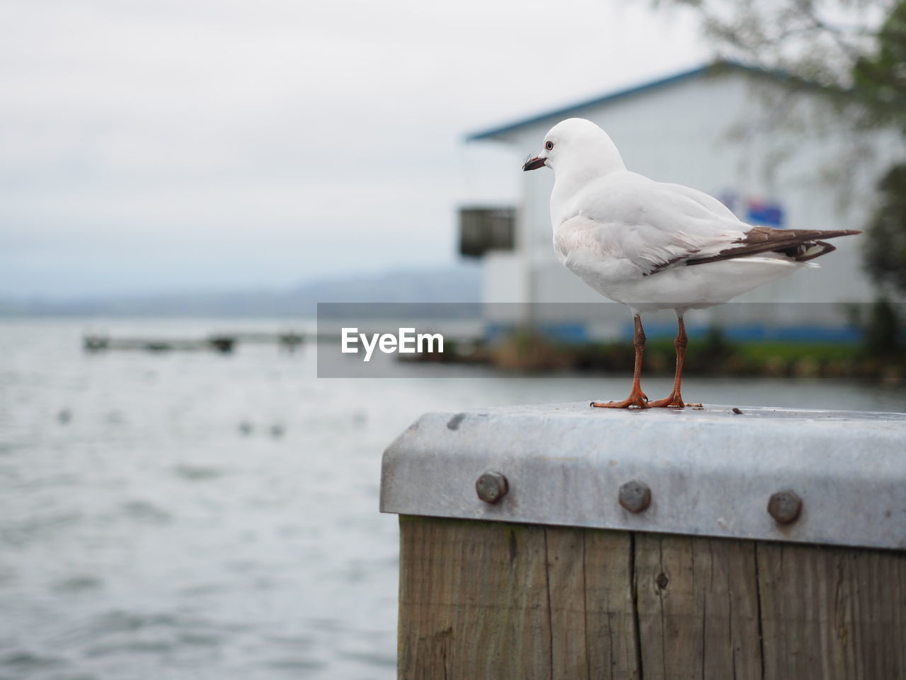bird, animal themes, animal, water, vertebrate, animals in the wild, one animal, seagull, sea, perching, animal wildlife, focus on foreground, day, no people, wood - material, nature, sea bird, outdoors, wall, post, wooden post