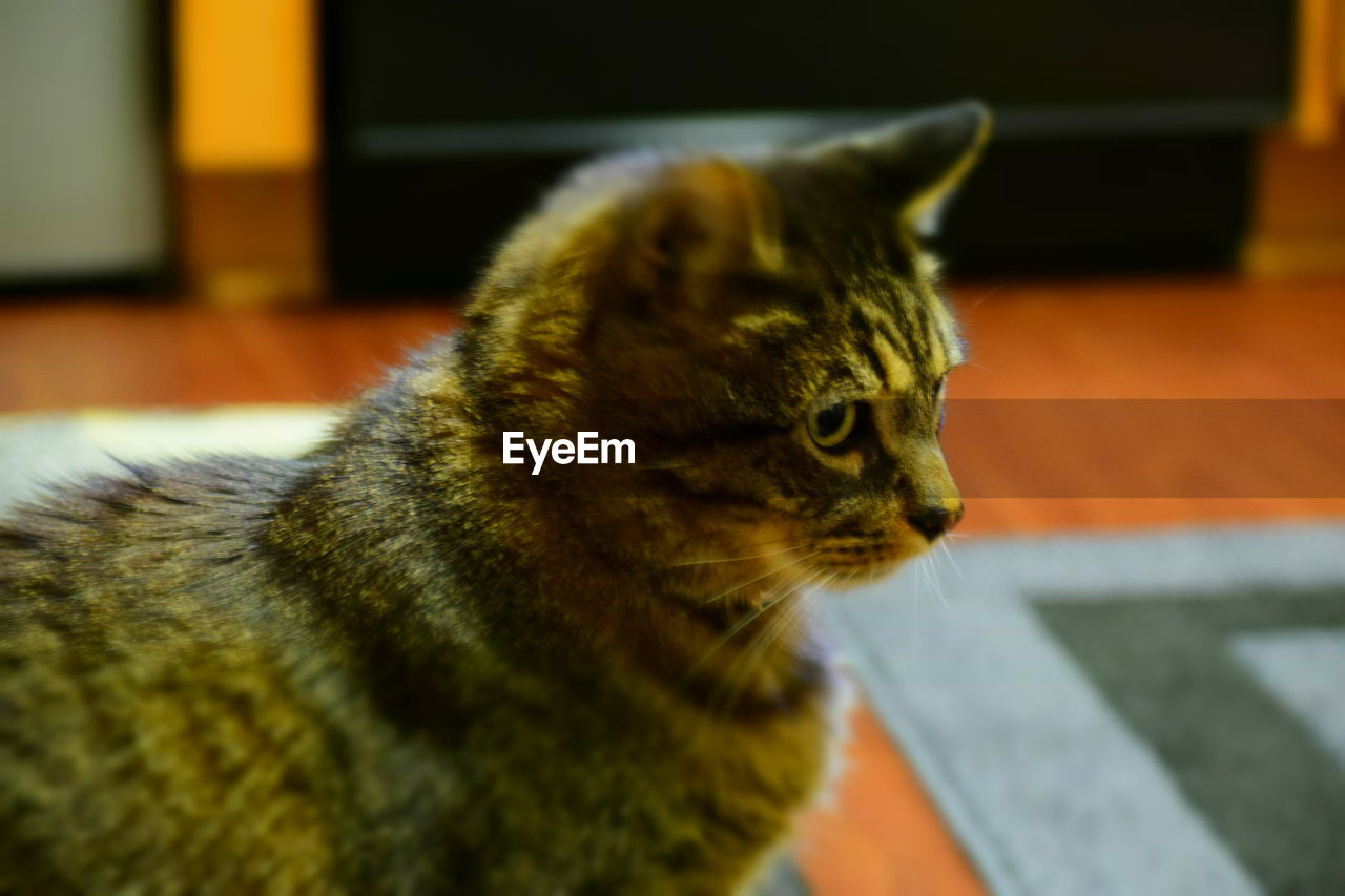 cat, feline, pets, domestic, one animal, domestic animals, animal themes, mammal, animal, domestic cat, vertebrate, indoors, home interior, looking, no people, focus on foreground, whisker, close-up, looking away, flooring, tabby