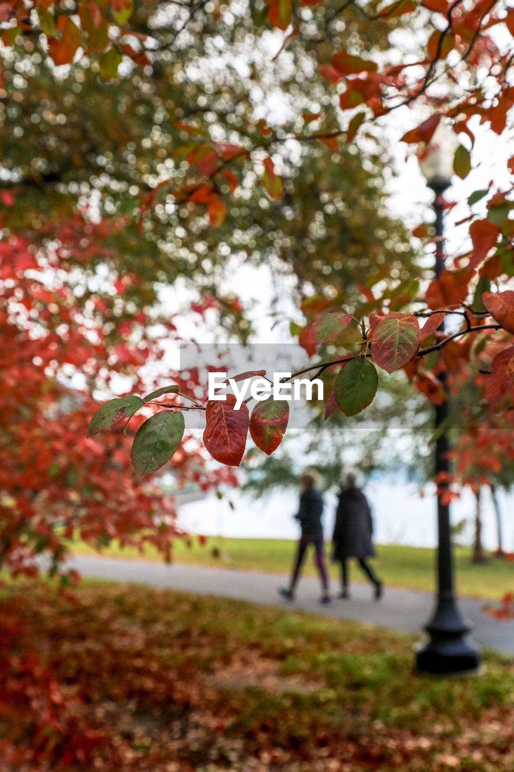 Close-up of autumn tree with people walking on footpath in background at park
