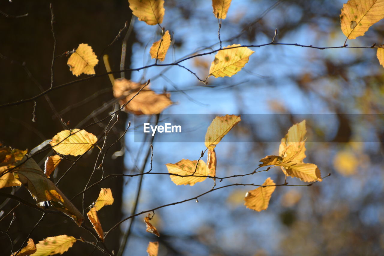 change, autumn, leaf, tree, plant part, plant, nature, focus on foreground, branch, no people, close-up, beauty in nature, day, leaves, yellow, outdoors, selective focus, low angle view, dry, growth, autumn collection, fall, natural condition, dried