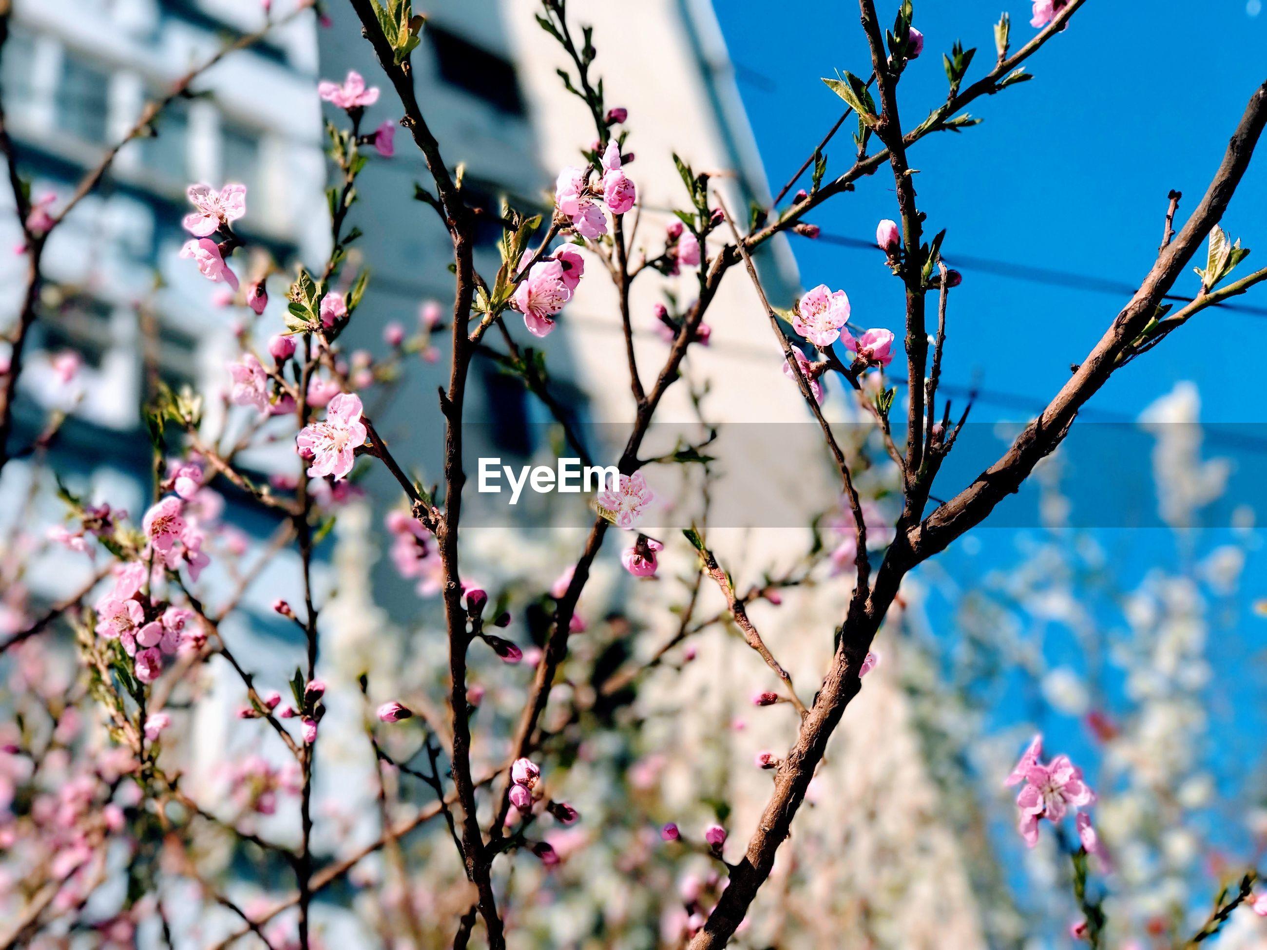 CLOSE UP OF FLOWER TREE