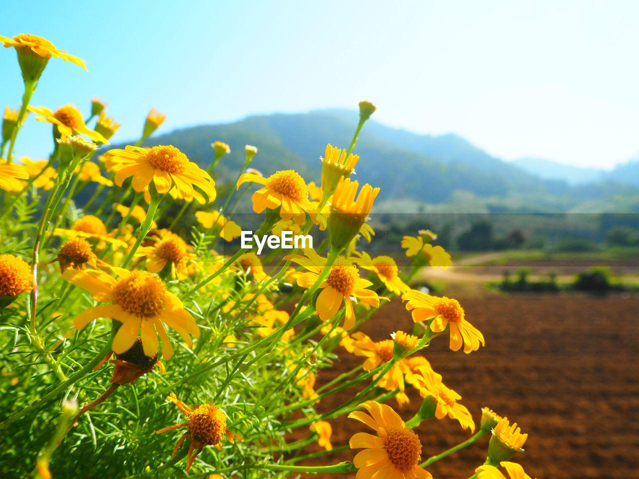 flower, growth, beauty in nature, nature, yellow, plant, fragility, field, no people, freshness, petal, day, outdoors, flower head, close-up, mountain, blooming, clear sky, sky