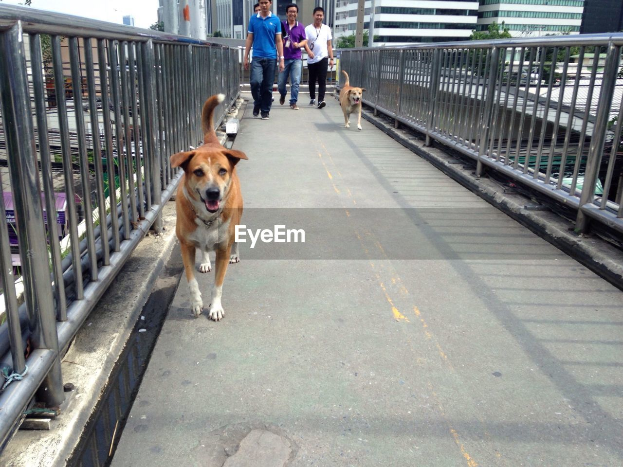 dog, railing, walking, animal themes, pets, one animal, day, domestic animals, full length, real people, outdoors, one person, mammal, people