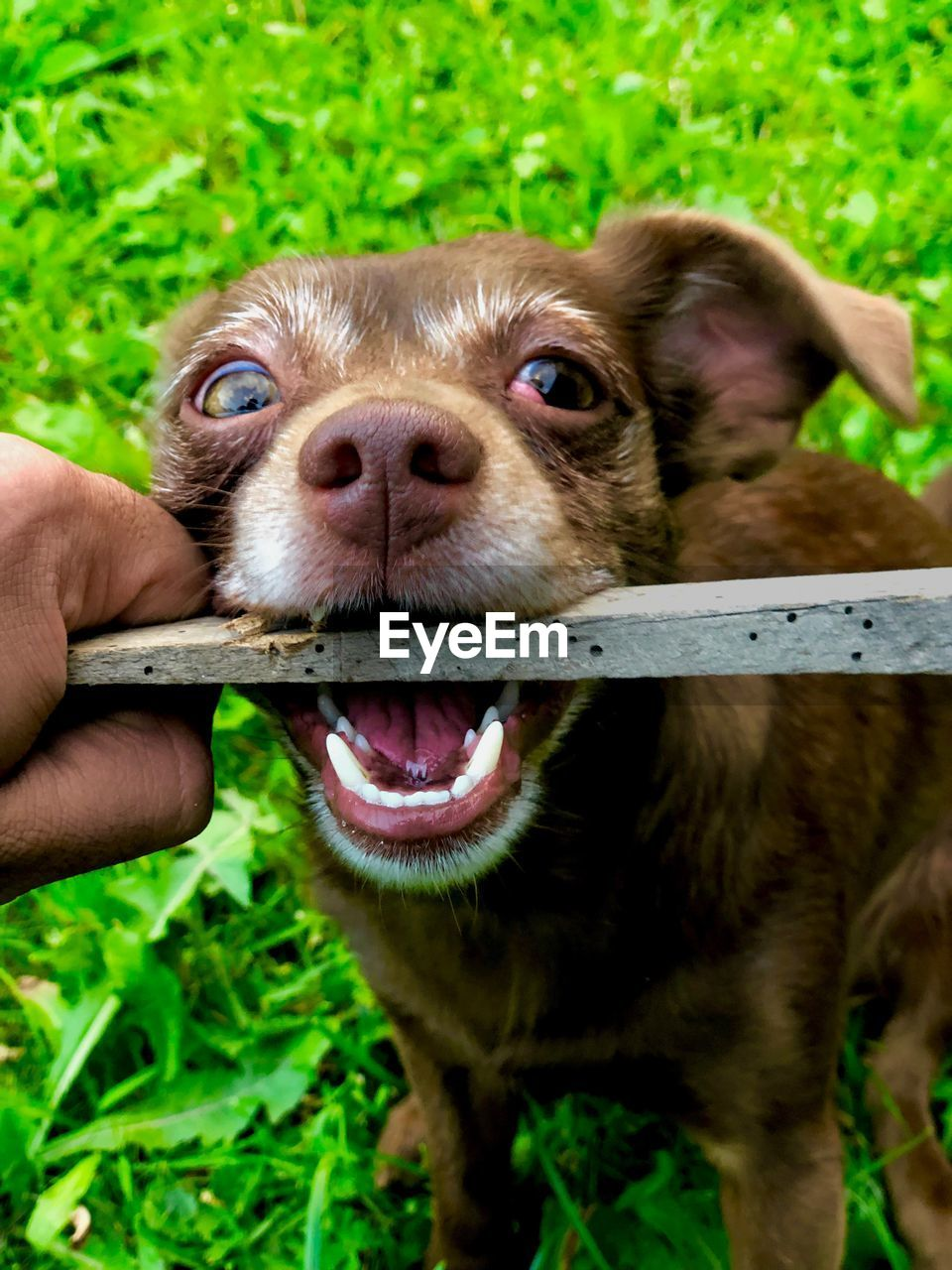 one animal, pets, domestic, mammal, dog, domestic animals, canine, human body part, human hand, hand, vertebrate, grass, one person, real people, plant, body part, green color, finger, mouth open, pet owner