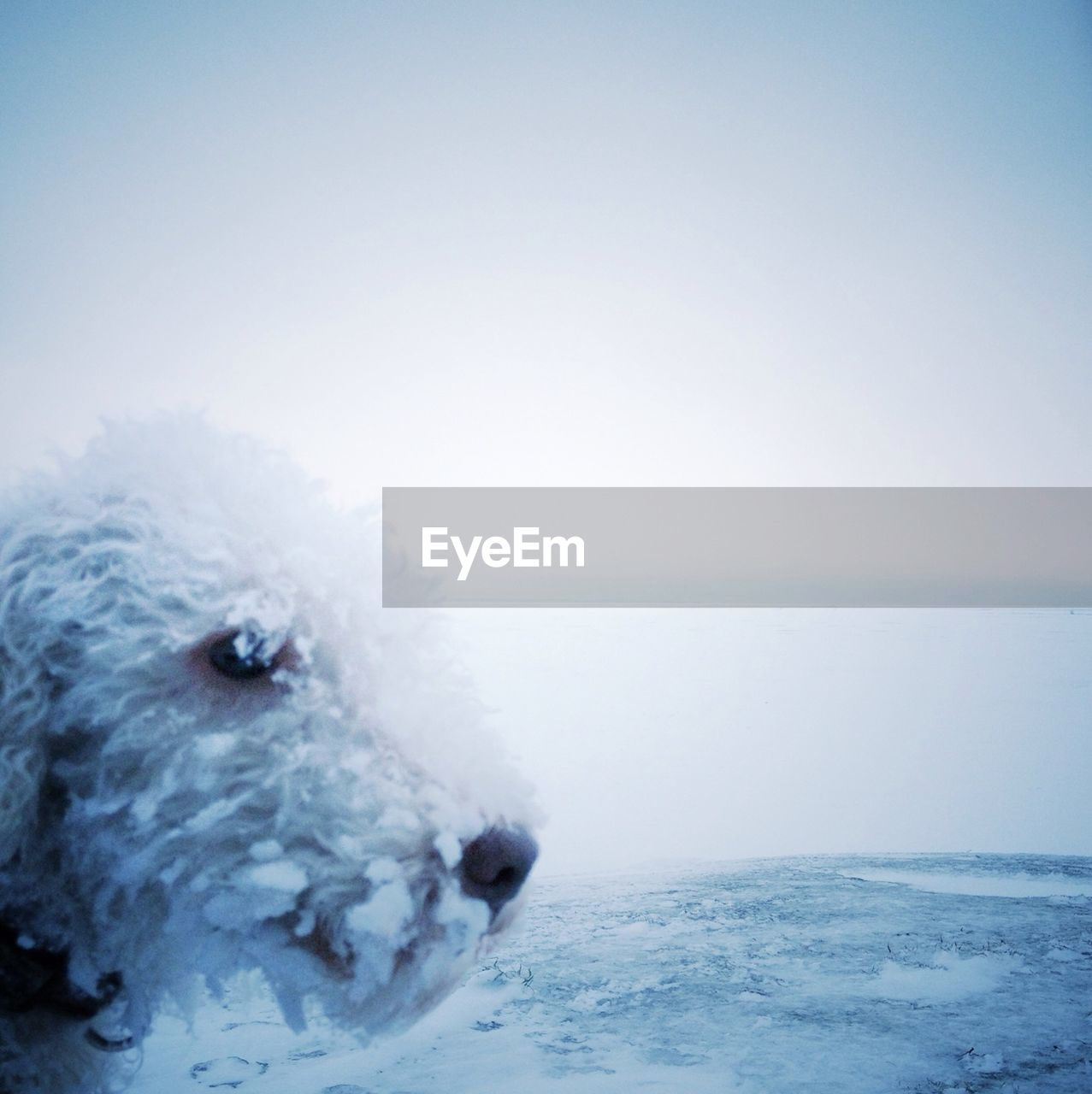 Close-up of snowed dog on landscape against clear sky