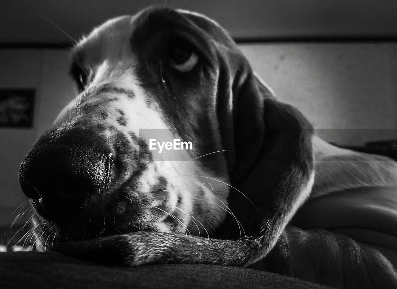 domestic, pets, domestic animals, dog, canine, one animal, mammal, animal themes, animal, indoors, vertebrate, close-up, relaxation, furniture, home interior, no people, animal body part, looking away, animal head, looking, snout, animal nose