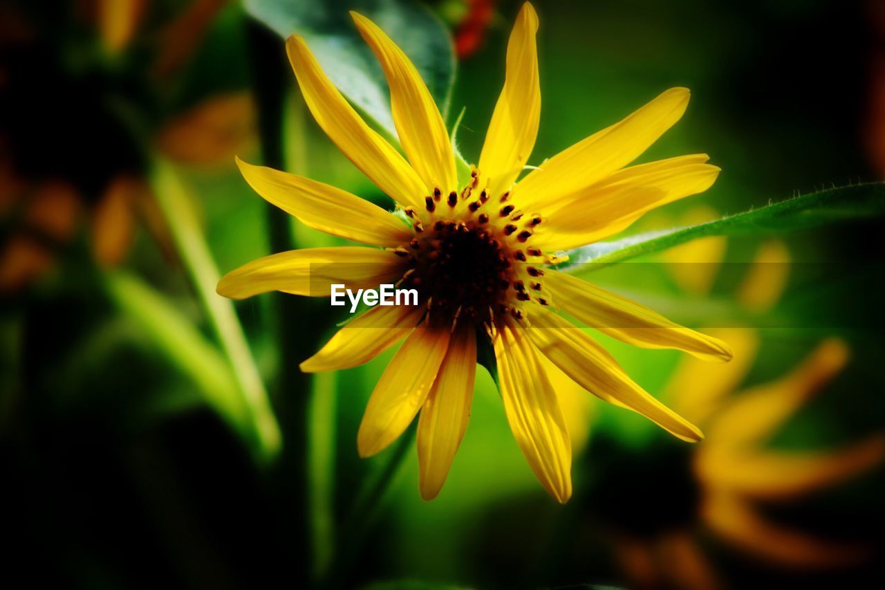 flower, petal, fragility, flower head, yellow, growth, beauty in nature, nature, freshness, plant, blooming, no people, outdoors, close-up, day, black-eyed susan
