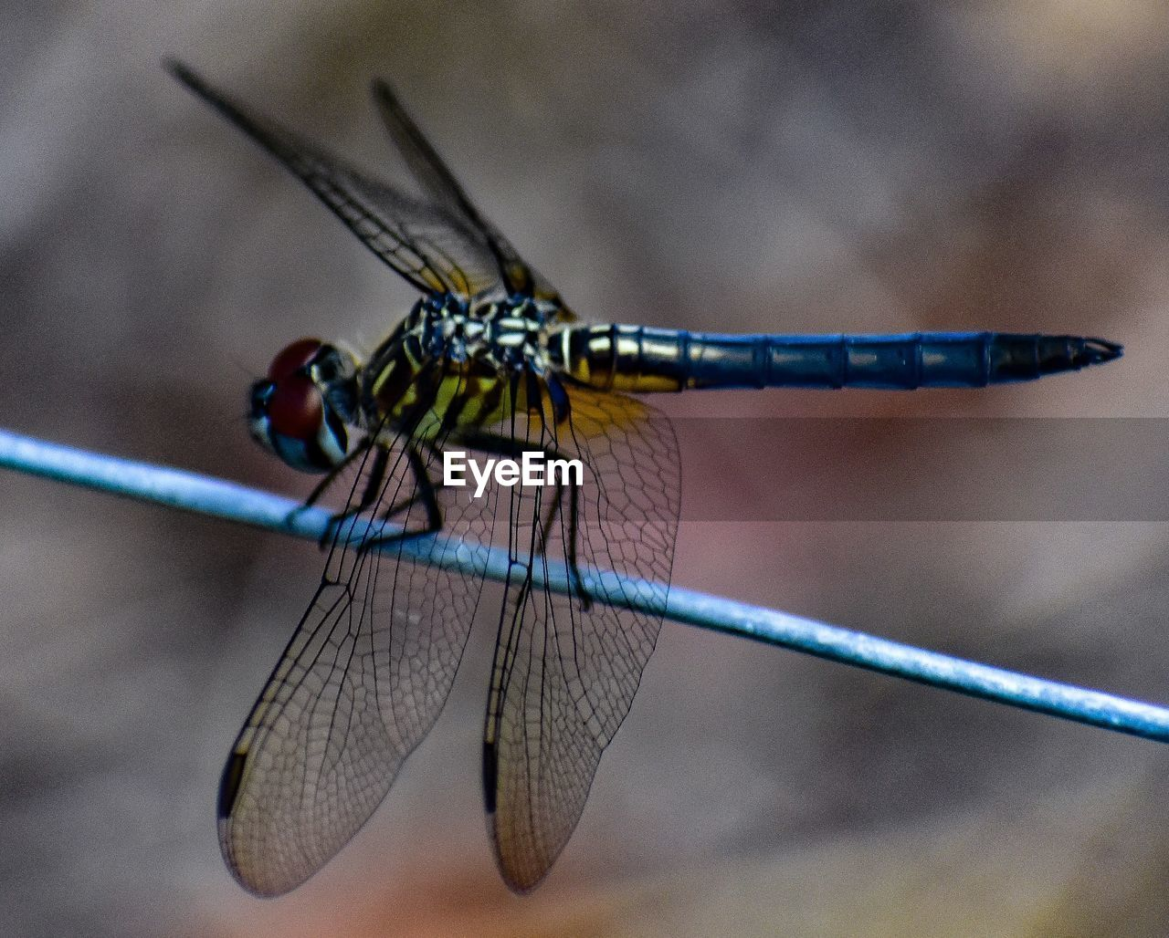 insect, animal themes, animal wildlife, invertebrate, one animal, animals in the wild, animal, close-up, focus on foreground, animal wing, no people, day, dragonfly, nature, blue, outdoors, damselfly, animal body part, twig, zoology, animal eye