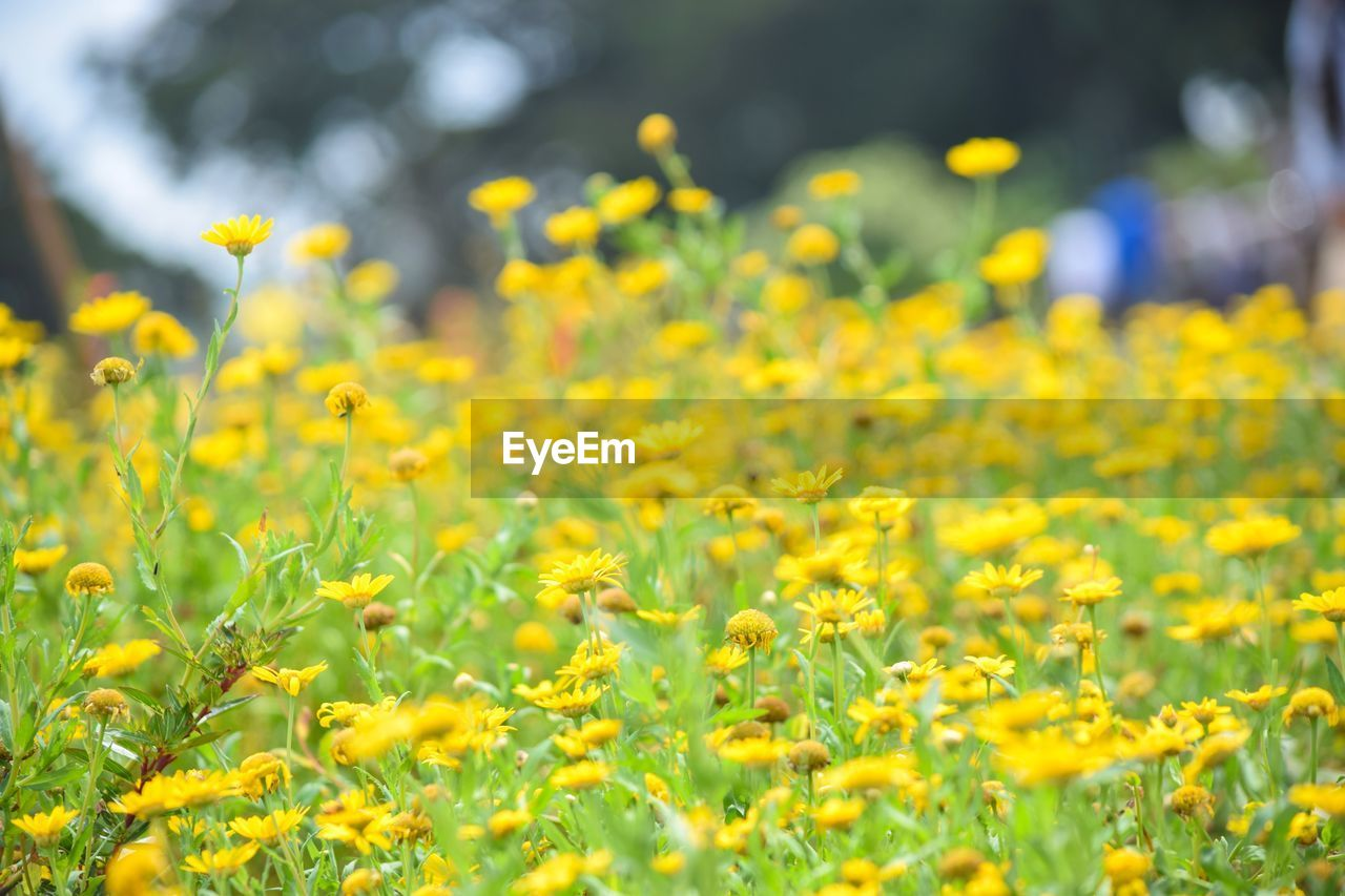yellow, flower, flowering plant, beauty in nature, plant, growth, field, freshness, land, fragility, vulnerability, selective focus, nature, day, no people, close-up, outdoors, abundance, landscape, agriculture, springtime, flower head, flowerbed