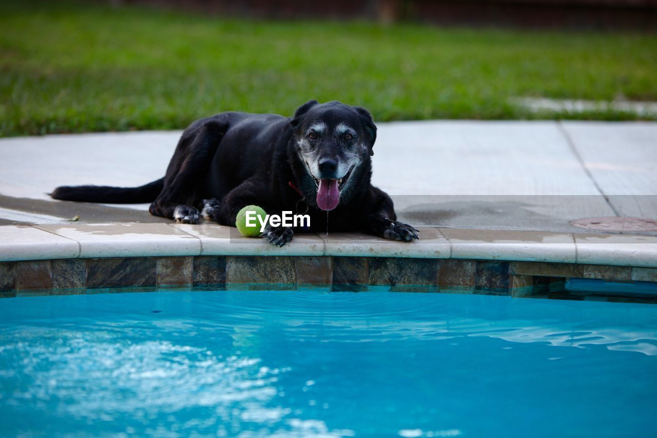 Dog With Ball Lying At Poolside