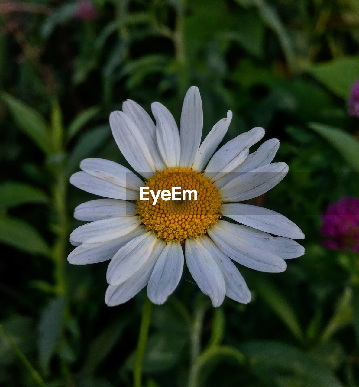 flower, flowering plant, vulnerability, fragility, freshness, petal, plant, flower head, beauty in nature, growth, inflorescence, close-up, pollen, nature, focus on foreground, white color, no people, day, daisy, outdoors