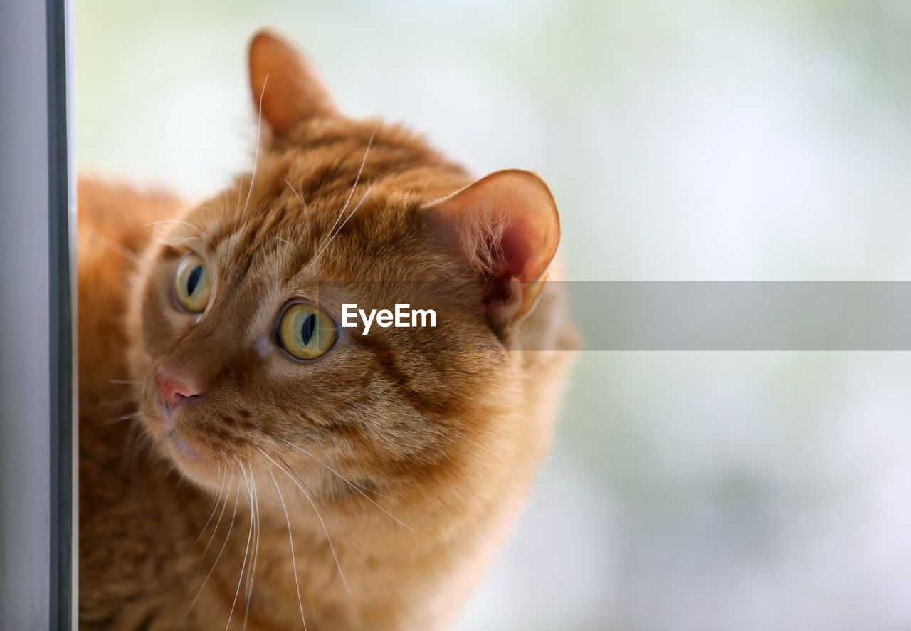 cat, domestic cat, pets, feline, domestic, one animal, animal themes, animal, domestic animals, mammal, vertebrate, focus on foreground, whisker, looking, close-up, no people, animal body part, day, selective focus, looking away, animal head, ginger cat, animal eye