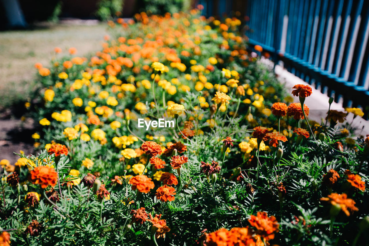 flower, flowering plant, growth, plant, freshness, fragility, beauty in nature, vulnerability, yellow, nature, flower head, orange color, close-up, no people, inflorescence, petal, day, marigold, focus on foreground, selective focus, outdoors, flowerbed