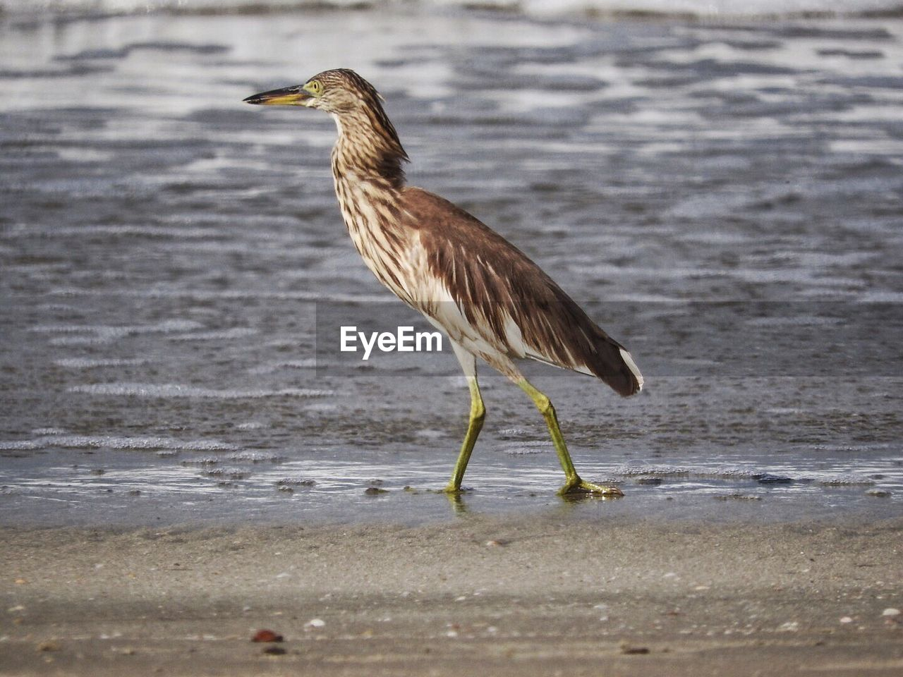 animal themes, animal wildlife, animal, one animal, animals in the wild, bird, vertebrate, beach, water, side view, land, nature, sand, full length, day, sea, no people, focus on foreground, outdoors, profile view