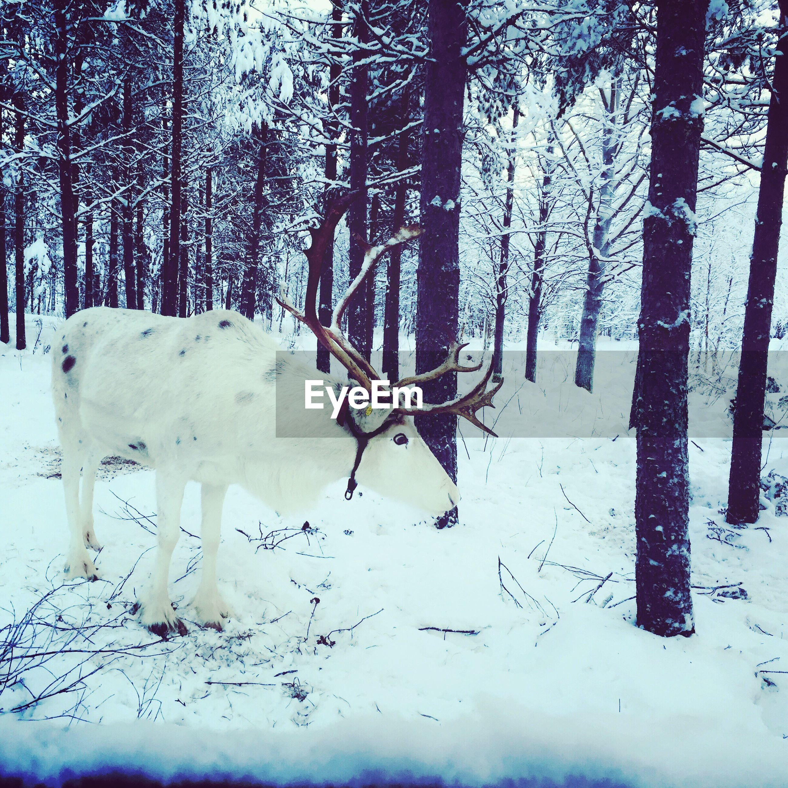 White reindeer on field in forest