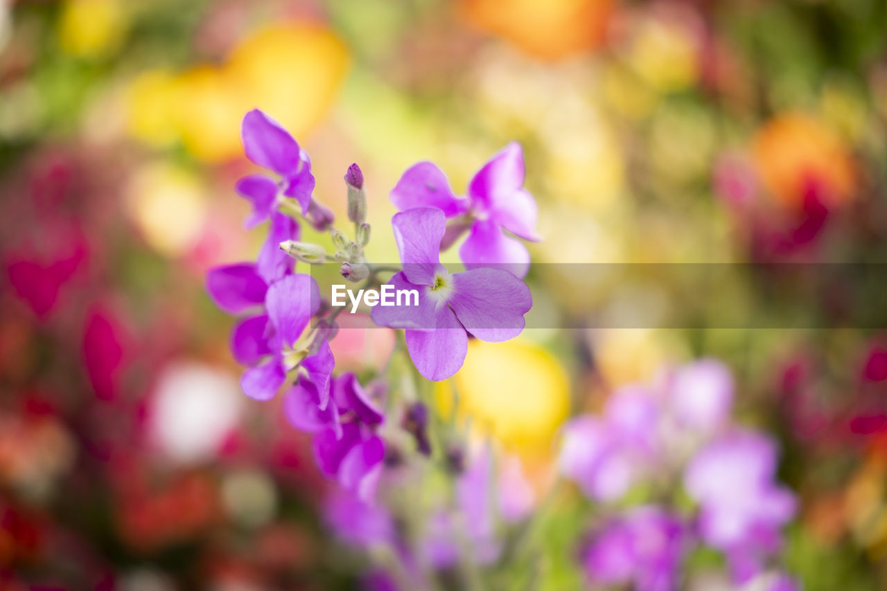 flower, flowering plant, fragility, plant, vulnerability, beauty in nature, freshness, growth, purple, close-up, petal, focus on foreground, day, flower head, nature, selective focus, inflorescence, no people, botany, outdoors