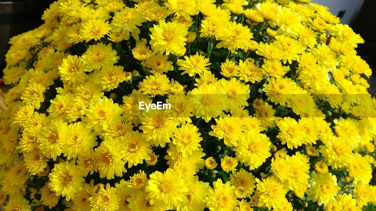 flower, yellow, fragility, freshness, petal, nature, growth, beauty in nature, flower head, day, no people, close-up, backgrounds, plant, blooming, outdoors, springtime