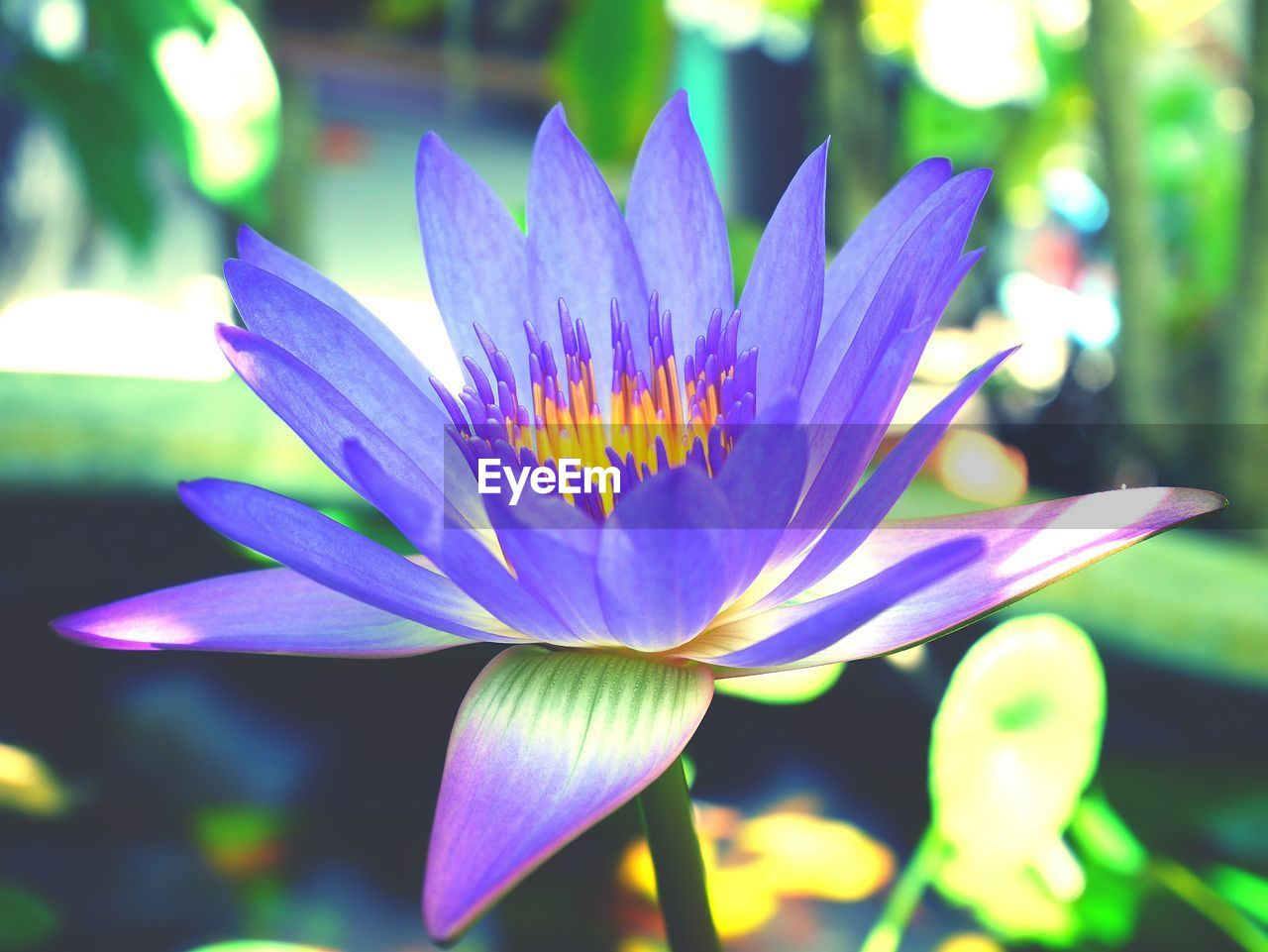 flower, petal, flower head, fragility, beauty in nature, freshness, nature, growth, focus on foreground, close-up, day, outdoors, plant, no people, blooming, lotus water lily