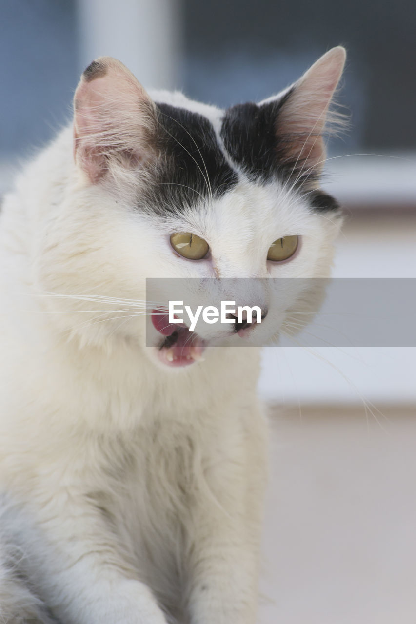 pets, domestic, domestic cat, cat, domestic animals, mammal, feline, animal themes, animal, one animal, vertebrate, no people, white color, whisker, mouth open, mouth, focus on foreground, close-up, facial expression, indoors, animal tongue