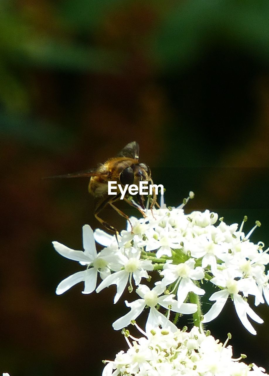 Close-Up Of Honey Bee Pollinating On Flowers