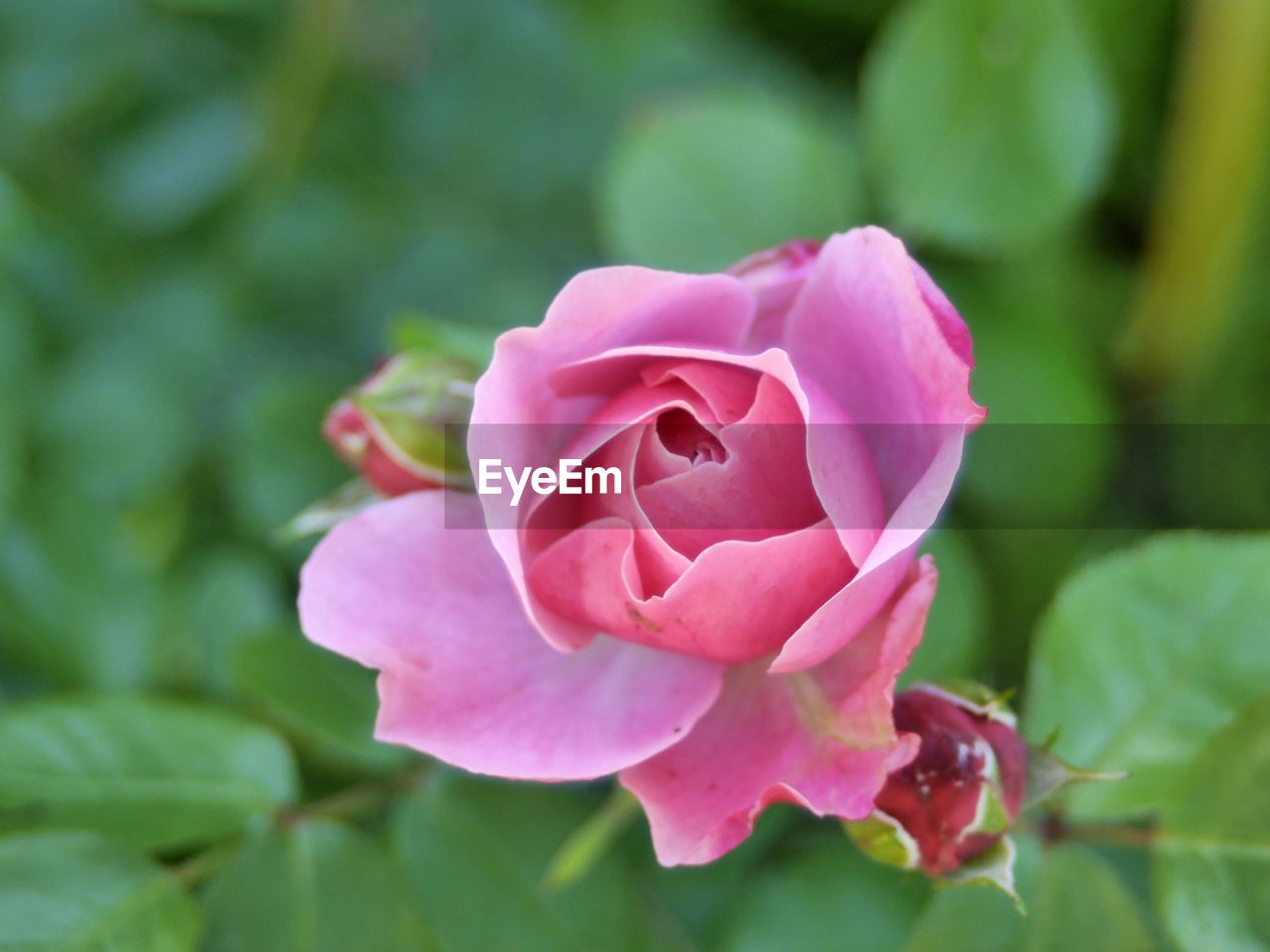 flower, petal, nature, beauty in nature, fragility, flower head, plant, pink color, no people, growth, freshness, close-up, rose - flower, outdoors, blooming, day