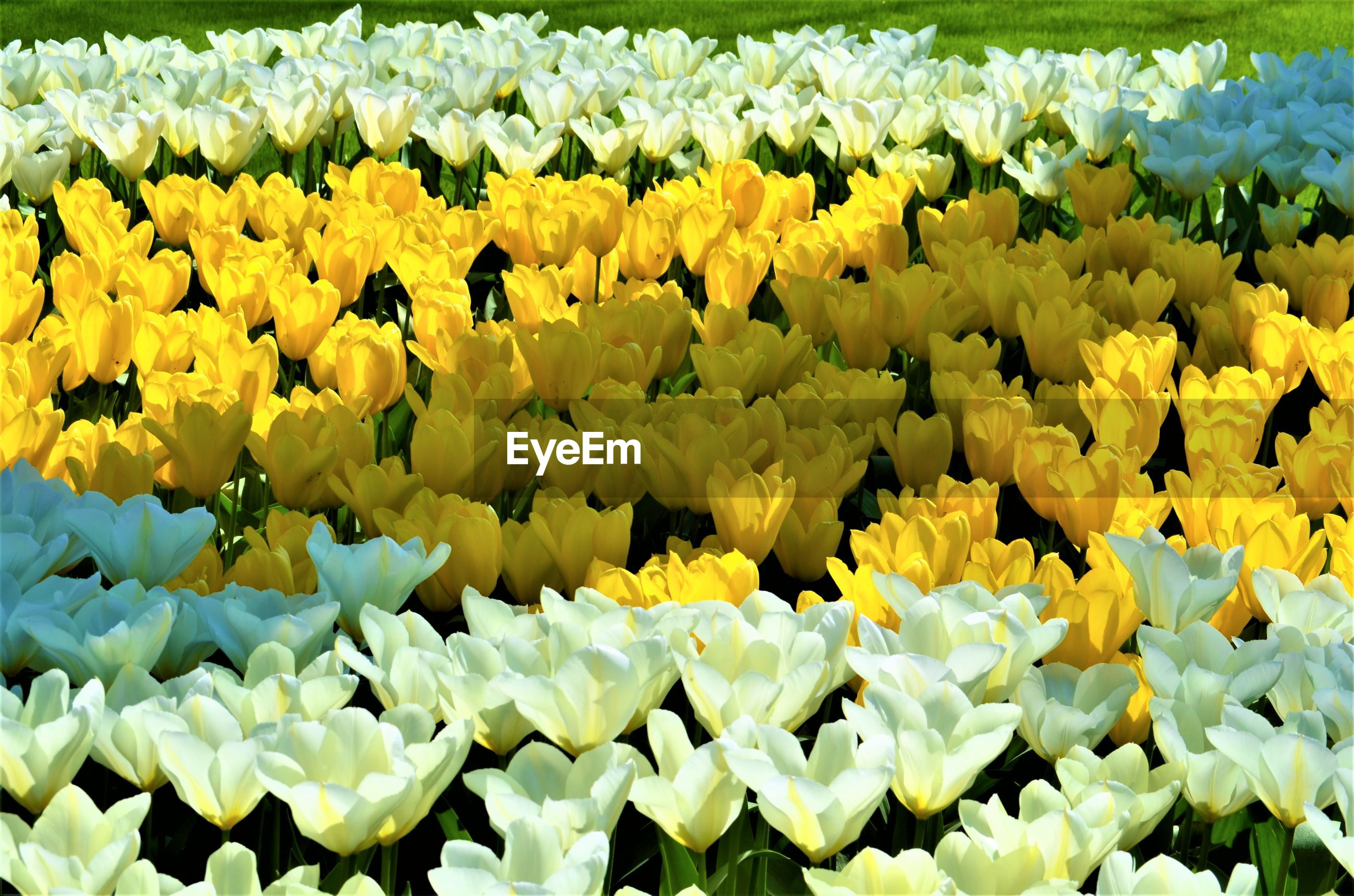 CLOSE-UP OF YELLOW FLOWERING PLANTS IN BLOOM