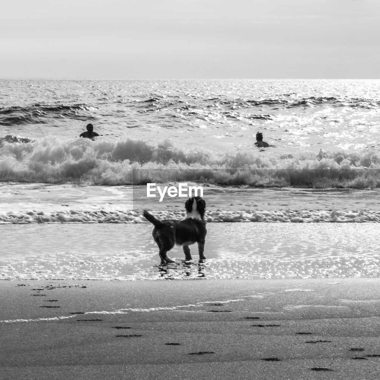 dog, sea, pets, beach, domestic animals, animal themes, water, motion, one animal, sand, nature, outdoors, wave, mammal, day, horizon over water, beauty in nature, sky, no people