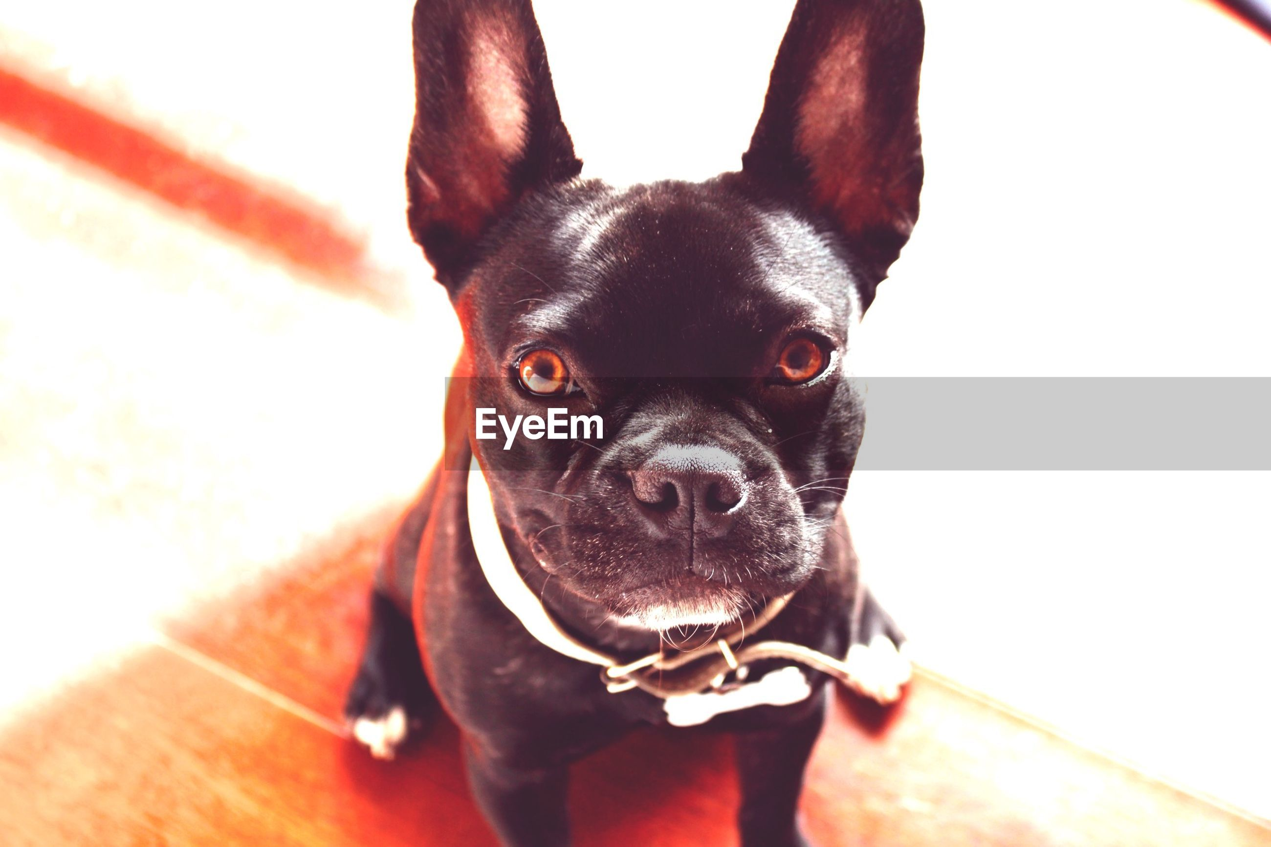 pets, dog, one animal, domestic animals, animal themes, looking at camera, portrait, mammal, animal head, indoors, close-up, animal body part, focus on foreground, pet collar, part of, black color, no people, animal eye, front view