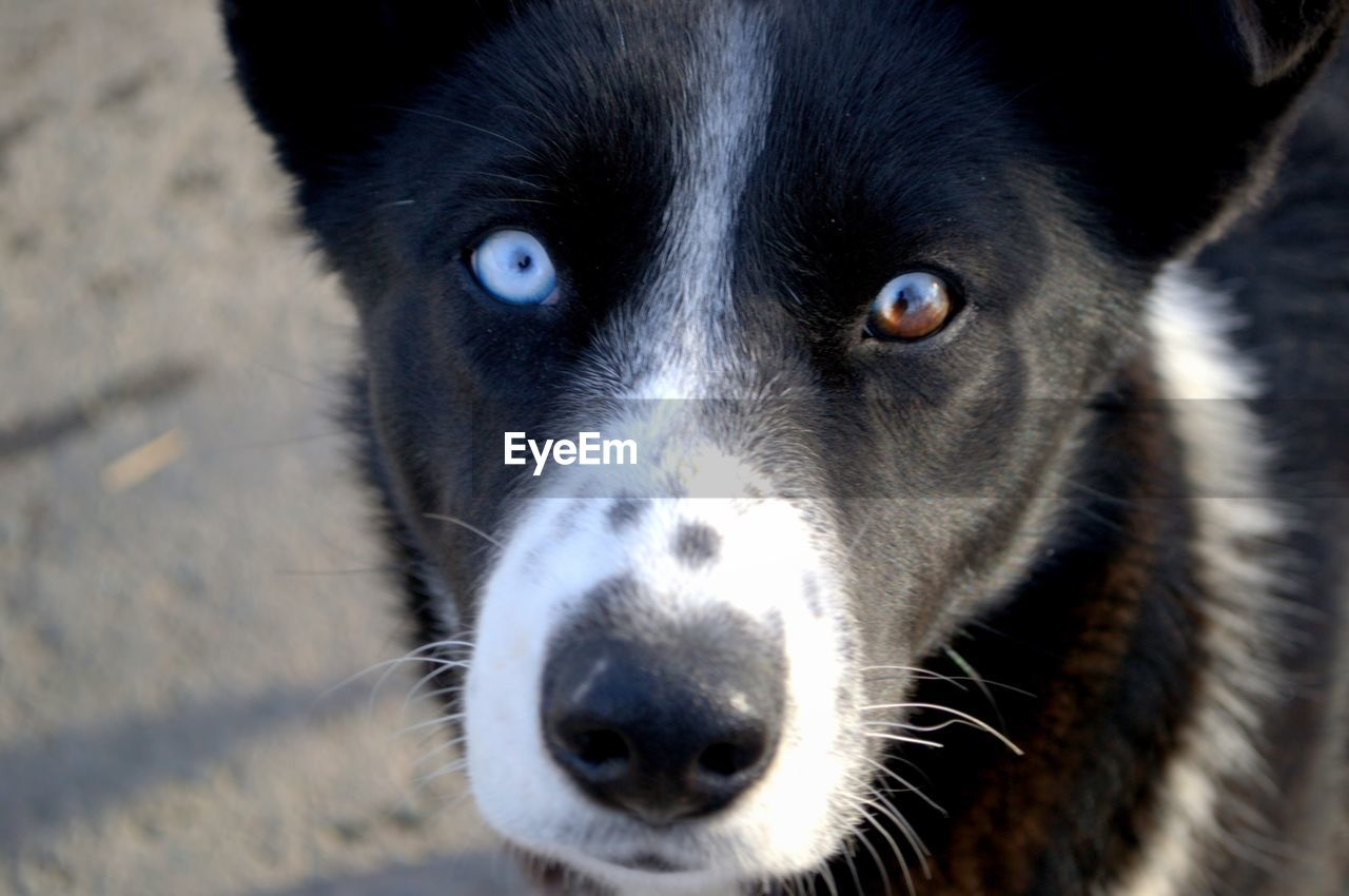 one animal, animal themes, mammal, animal, canine, dog, domestic, pets, domestic animals, close-up, animal body part, portrait, animal head, vertebrate, no people, looking at camera, focus on foreground, sled dog, day, eye, border collie, animal eye, purebred dog, whisker, snout
