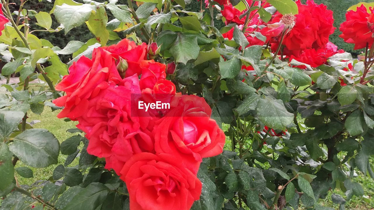 growth, red, beauty in nature, nature, flower, petal, leaf, fragility, freshness, plant, no people, day, outdoors, flower head, green color, blooming, rose - flower, close-up