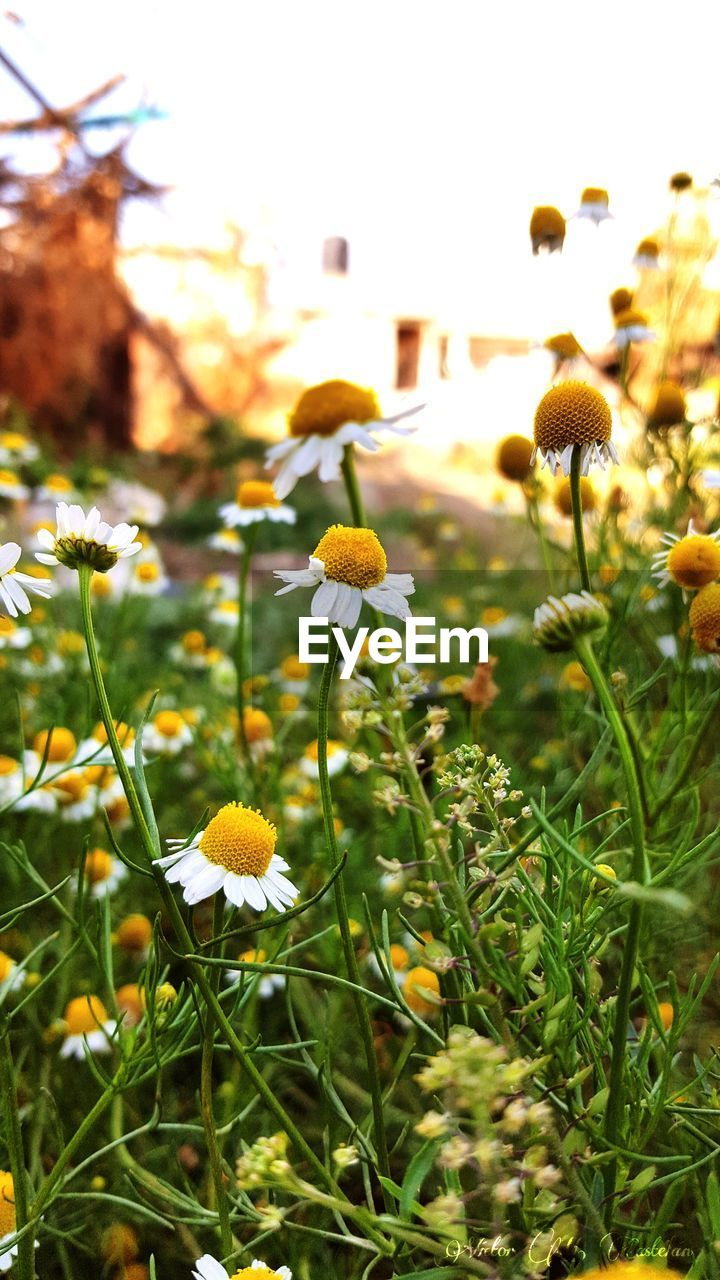 flower, growth, yellow, nature, beauty in nature, plant, fragility, petal, freshness, field, blooming, flower head, green color, outdoors, no people, day, close-up