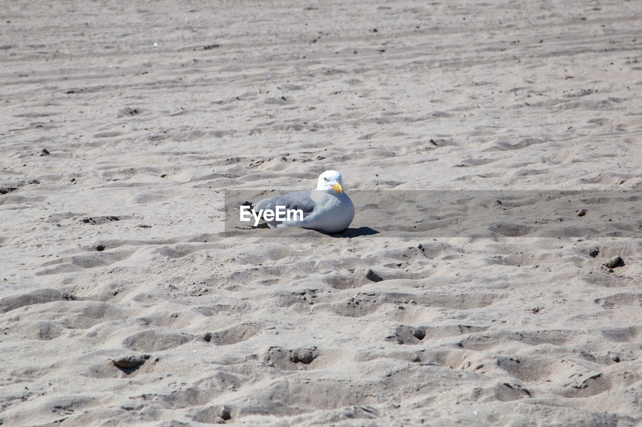 HIGH ANGLE VIEW OF SEAGULL AT BEACH